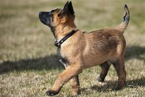 Belgian Malinois Puppies: Breed At a Glance
