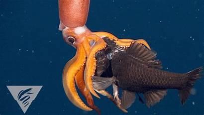 Squid Fish Deep Sea Jellyfish Feeding Underwater
