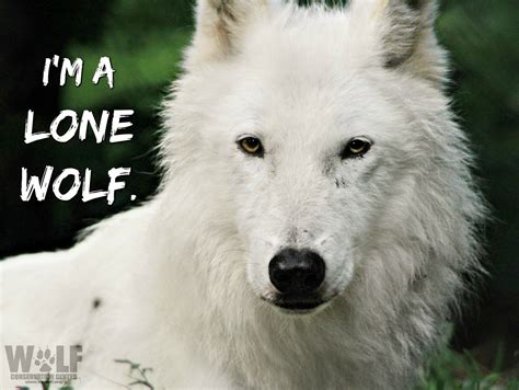 The Wolf Is A Symbol Of Americas Vanishing Wilderness Not