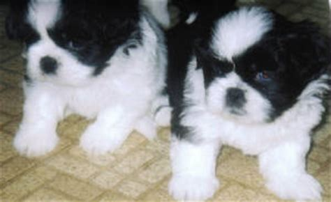 shinese shih tzu  pekingese mix info temperament