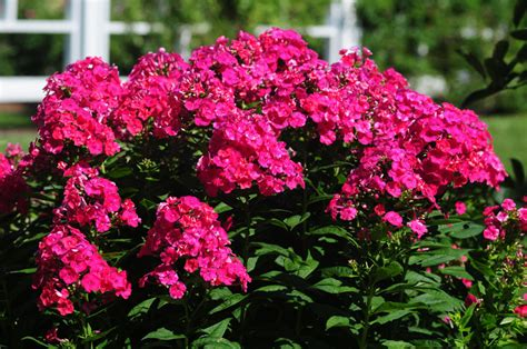 pictures of phlox flowers pictures of flowers gaeden phlox