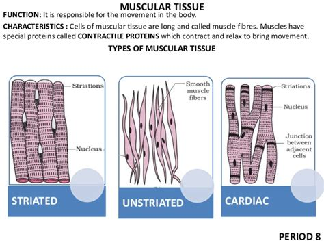 Cbse class 9 science chapter 5 tissues exercise questions with solutions to help you to revise with the help of diagram show the difference between striated muscle fibre, smooth muscle fibre tendon: 9 tissues ppt