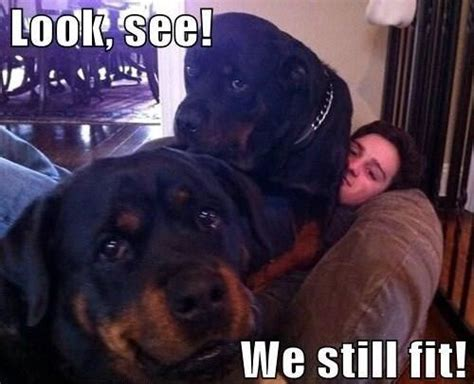 Rottweiler Memes - rottweilers dog memes and lap dogs on pinterest