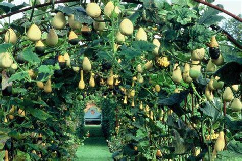gourd arbor im     small    cattle
