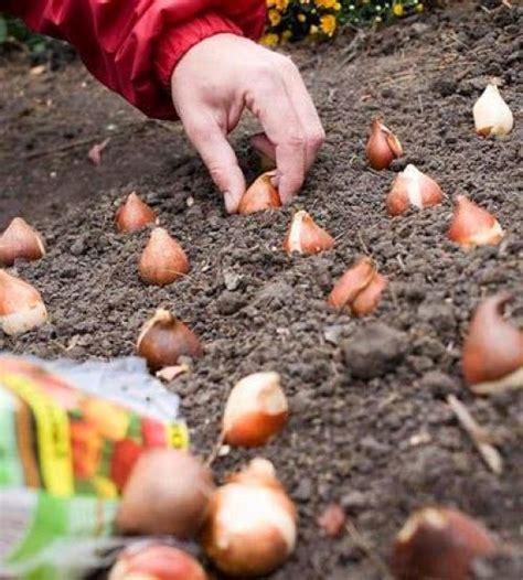 planting tulip bulbs 25 best ideas about spring bulbs on pinterest planting bulbs spring flowering bulbs and bulb