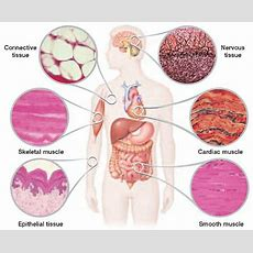 Notes On Interrelationship Between Cell, Tissue And Organs In Human Body  Grade 8 > Science