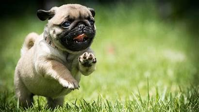 Pug Puppy Wallpapers Dog Funny Puppies Mops