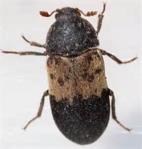 black brown beetle dermestes lardarius bugguide net