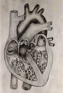 Pencil Drawing Of Human Heart Human Heart Drawing - Google ...