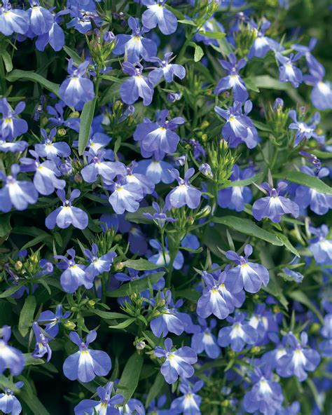 blue lobelia laguna compact blue with eye lobelia erinus proven winners