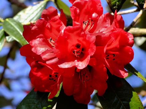 pictures of rhododendron the species are organized by subgenus section subsection and series