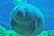 Sea Animal Manatee