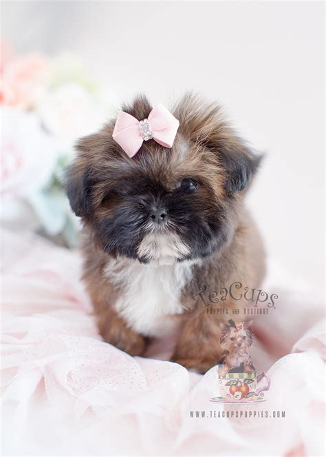 shih tzu puppy  sale  teacups puppies south florida