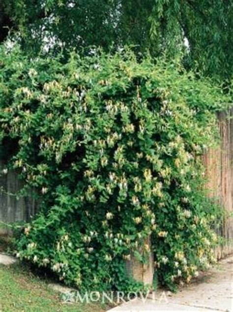 fast growing fence cover fast growing honeysuckle to cover up the chain link fence backyard pinterest fast