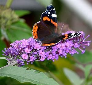 Bedeutung Schmetterling In Der Wohnung : kostenlose foto natur pflanze blume insekt botanik schmetterling flora fauna wirbellos ~ Watch28wear.com Haus und Dekorationen