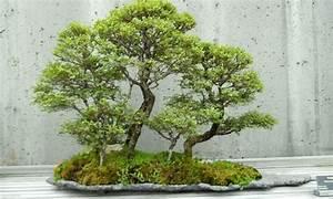garden blog zu garten bonsai pflanzen und mehr With feuerstelle garten mit aquarium bonsai baum kaufen