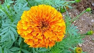 Growing Marigold