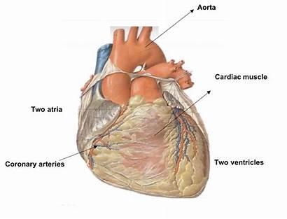 Heart Mammalian Structure External Level Biology Internal