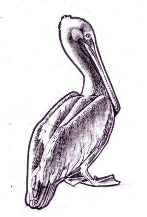printable pelican drawing beach art drawing