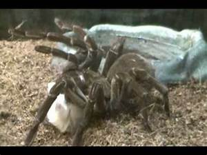Goliath Birdeater Tarantula Eats Mouse
