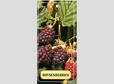Boysenberries Buy Boysenberries dusty Purple Coloured