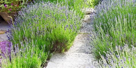 plants cheap landscaping easy garden grow lavender hardy shrubs inexpensive landscape outdoor trees gardening plant care bush gardens front hearty