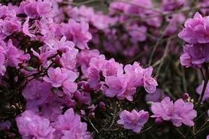 Kamelie Gelbe Blätter : rhododendron braune bl tter rhododendron braune bl tter ~ Lizthompson.info Haus und Dekorationen