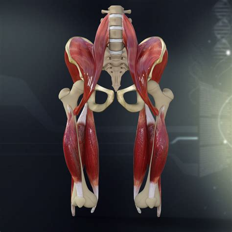 The main bone in our head is called the skull. Human Pelvis Muscle Bone Anatomy 3D model   CGTrader