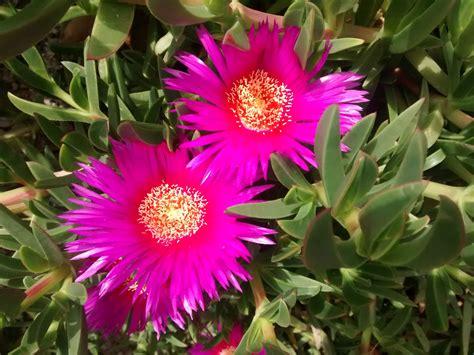 i fiore fiori delle piante grasse foto e consigli