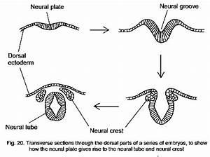 Anatomy 530a At Uwo  Functional Neuroanatomy