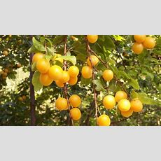 """"""" Mirabelle Plum Tree"""" By Daffodil Redbubble"""