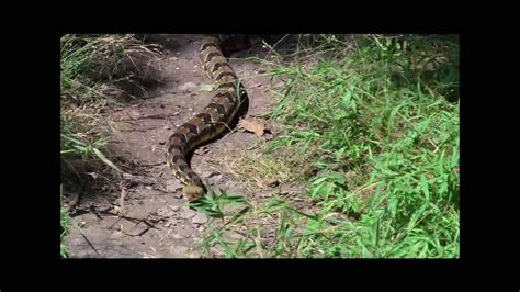 appalachian trail rattlesnakes fighting  hiker