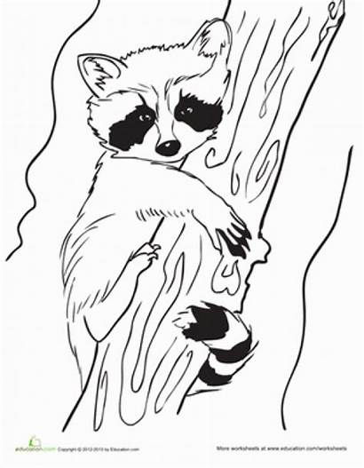 Raccoon Coloring Pages Raccoons Drawing Racoon Animals