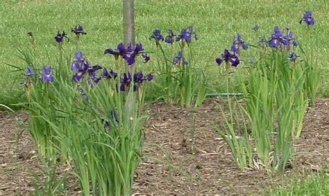 deer resistant shade perennials deer resistant shade perennials for northern virginia revolutionary gardens