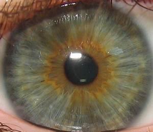 Iris  Anatomy
