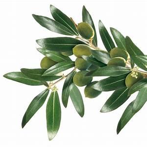 olivenbaum pflanzen pflegen schneiden compode With französischer balkon mit olivenbaum im garten pflanzen