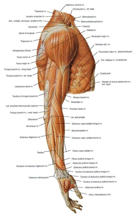 Tell me about transversus abdominis. Shoulder Muscles Diagram - Labeled Anatomy Chart Of Neck ...