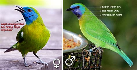 Now we recommend you to download first result burung flamboyan ribut paling ampuh buat pikat mp3. Cucak rante mas: Burung cica daun terkecil yang ...