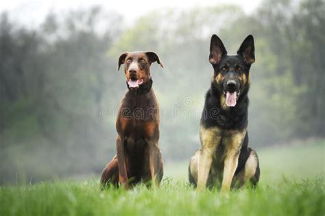 sch und schmalöer sch 228 ferhund und brauner dobermann pinscher stockfoto bild apportierhund hintergrund 40433520