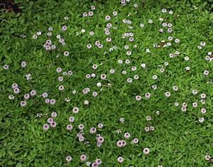 Lippia Repens Aka Phyla Nodiflora Buy Online At Annie 39 S
