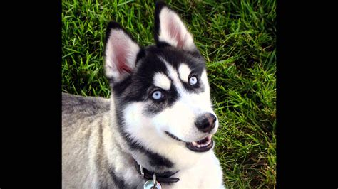 Siberian Husky - Coat Colors SpellsCZ - YouTube