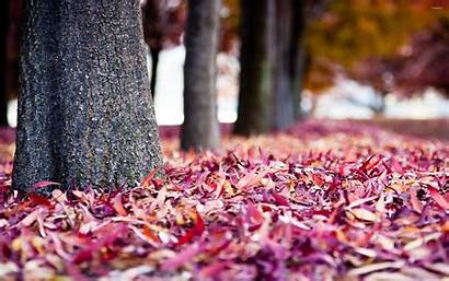 Autumn Purple Leaves Pink Ground Fall Wallpapers
