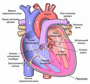 File Diagram Of The Human Heart Uk Svg