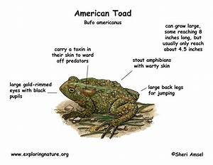 Fully Labeled Diagram Of A Toad