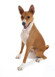 basenji information facts pictures and grooming