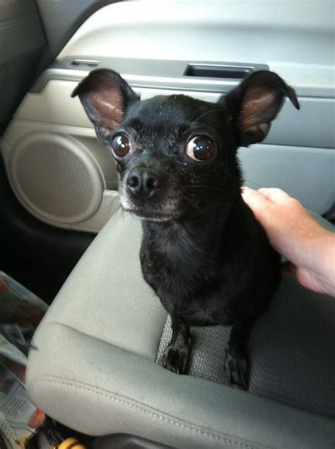 recognize  black chihuahua orlando