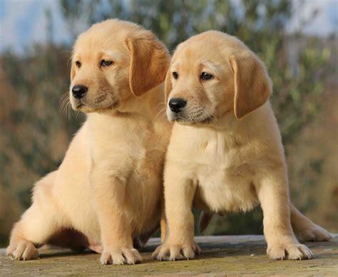 adorables b 233 b 233 s labrador mister chien