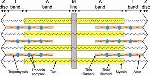 Schematic Representation Of A Sarcomere  The Thick And