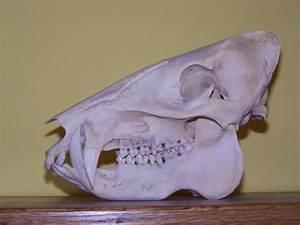 wild boar skulls drawings | Boar Skull | Havelina Wild ...