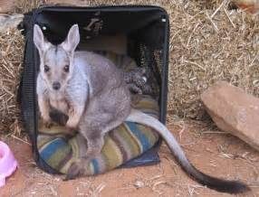 kangaroo kangaroos sanctuary baby orphaned box loving brolga mothers dundee mom whose hit cars been alice springs barns chris role